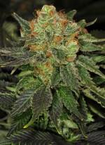 Bubblegum® (T.H. Seeds)