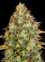 Dawg Star® Kush (T.H. Seeds)