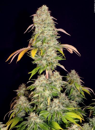 Akorn (T.H. Seeds)