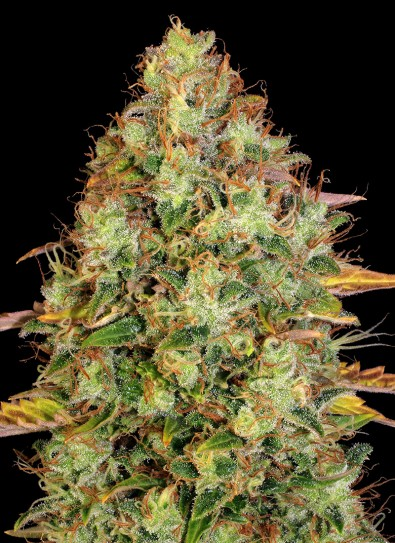 Dawg Star® Kush (T.H. Seeds)