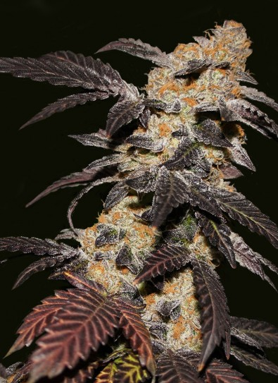 French Cookie® (T.H. Seeds)