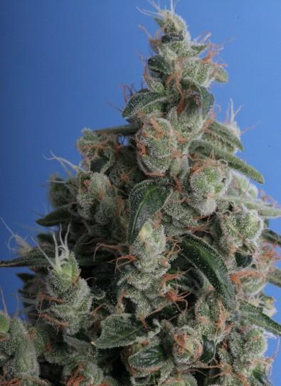 Kushage® (T.H. Seeds)